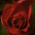 Живая роза распускается